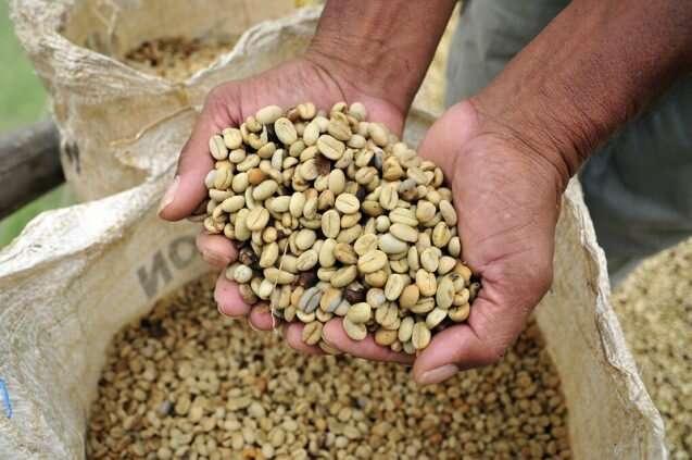 Evitar un final amargo para el café debido al cambio climático