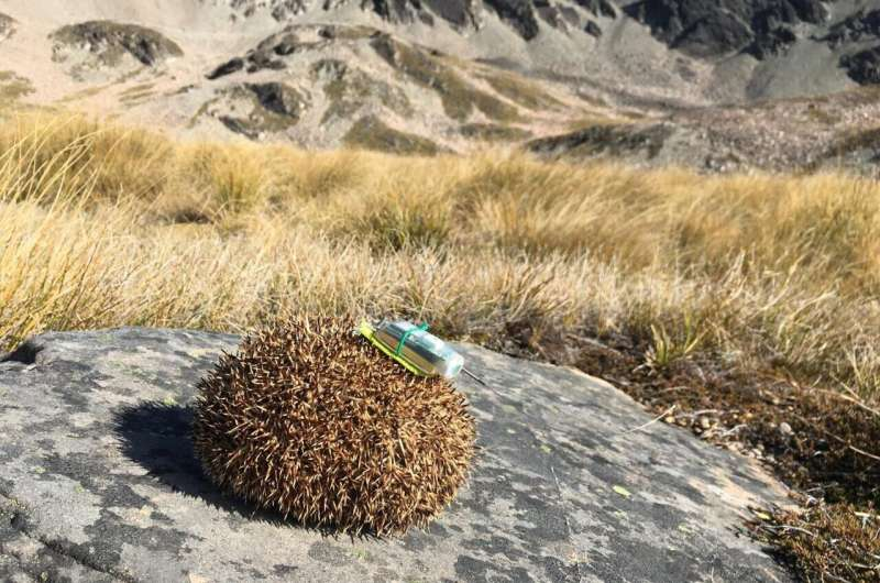 'Backpacking' hedgehogs take permanent staycation