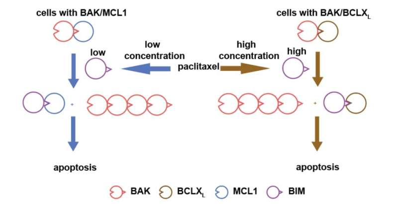 BAK/MCL1 complexes can predict chemotherapy drugs sensitivity in cancer cell