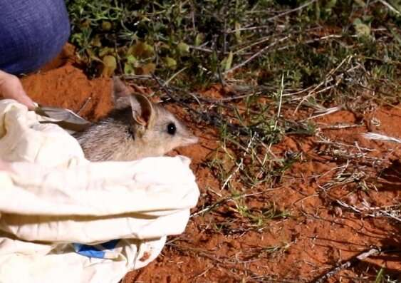 Bandicoots return to Sturt National Park after more than a century