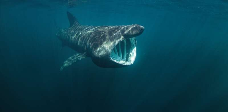 Basking sharks travel in extended families with their own 'gourmet maps' of feeding spots, genetic taggingreveals