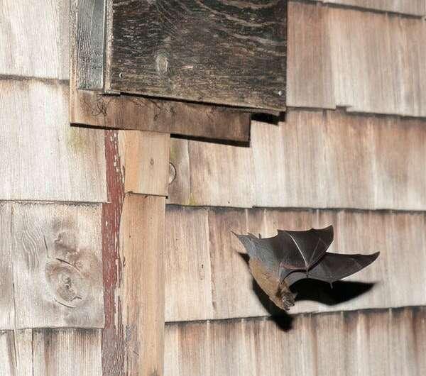 'Bat boxes' could help revive Canada's depleting bat population