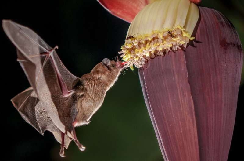 Bat guts become less healthy through diet of 'fast food' from banana plantations