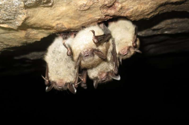 Bats with white-nose syndrome prefer suboptimal habitats despite the consequences