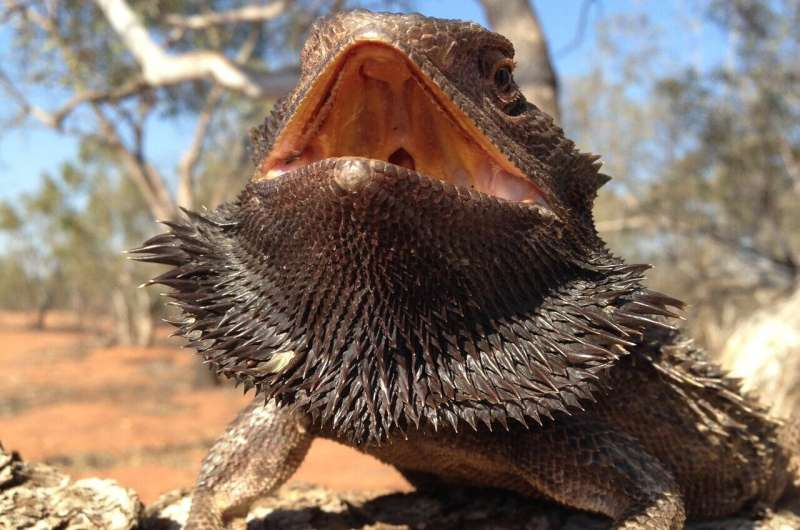 Bearded dragon embryos become females either through sex chromosomes or hot temperatures