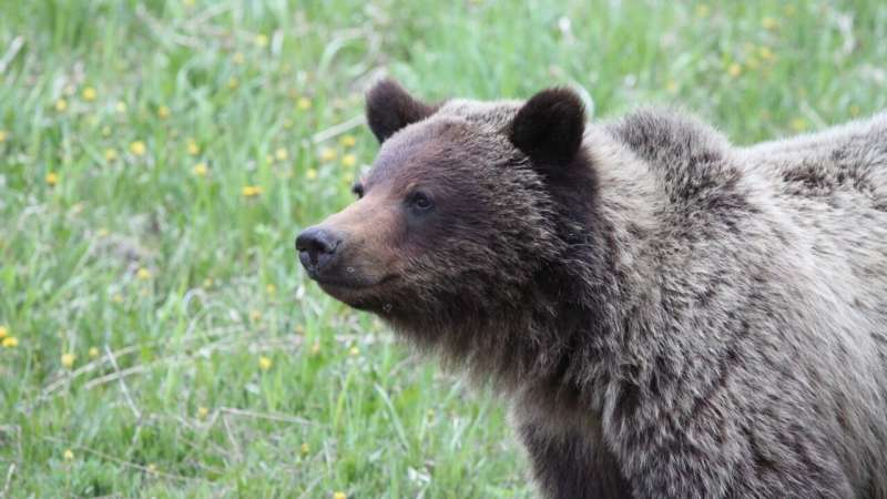 Bears that mark more trees may be more successful in mating