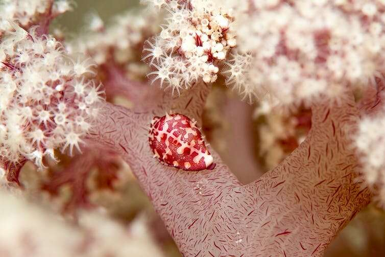 Beautiful, rare 'purple cauliflower' coral off NSW coast may be extinct within 10 years