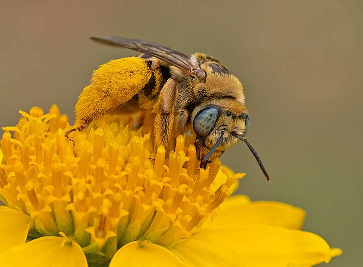 Bees thrive where it's hot and dry: A unique biodiversity hotspot located in North America