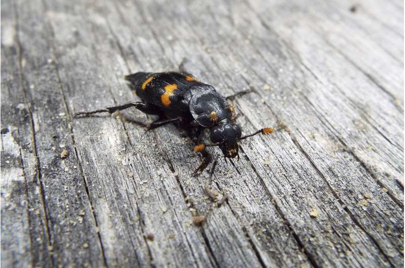 Beetle keeps rivals off scent of food buried for offspring