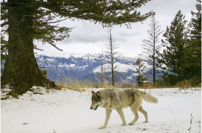 Biden backs end to wolf protections but hunting worries grow