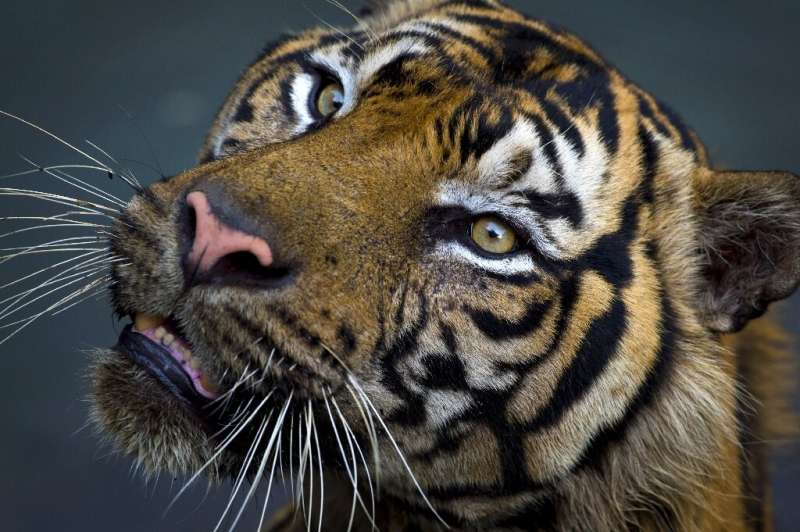 Big cats have lost more than 90 percent of their historic range and population