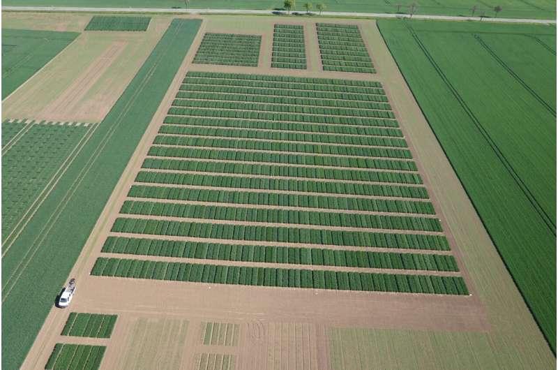 Big data: IPK researchers double accuracy in predicting wheat yields