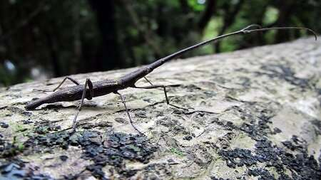 Big giraffe weevils bring bad news for their rivals