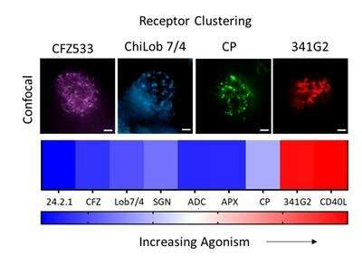 Bigger may not always be better: Density governs receptor activation on immune cells