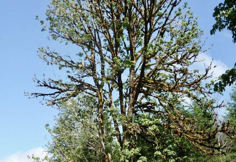 El declive del arce de hoja ancha se asocia con veranos más calurosos y secos en el estado de Washington.