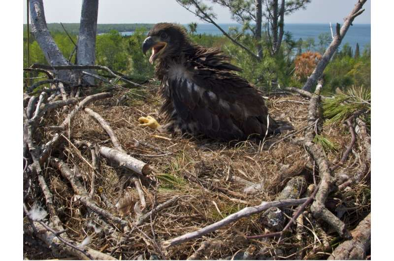 Bioaccumulation of phased-out fire retardants is slowly declining in bald eagles