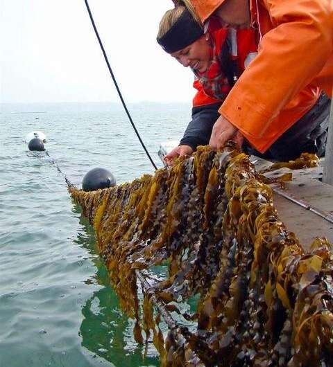 Biofuel from kelp could provide cheaper, greener energy source