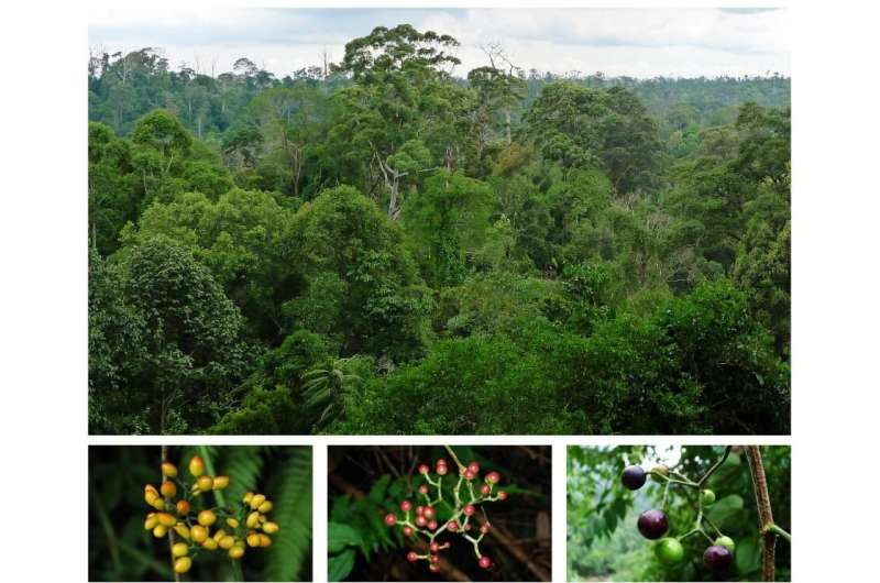Biogeography of Tetrastigma Fleshes out Asia-Australian Floristic Exchange History
