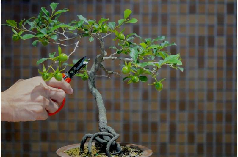 Biomolecular bonsai: Controlling the pruning and strengthening of neuron branches