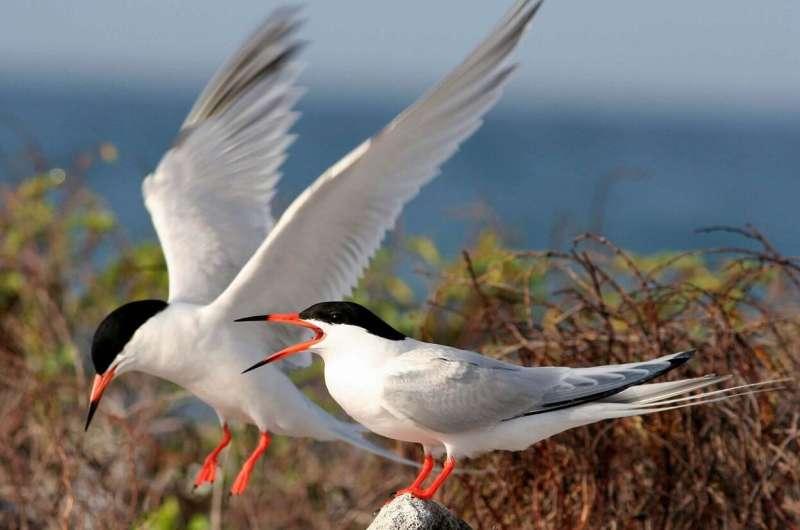 Bird rescue operation in Long Beach seeks to save elegant terns