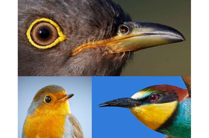 Birds' eye size offers clues to coevolutionary arms race between brood parasites, hosts