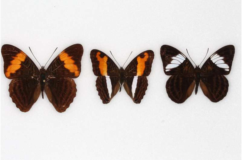 Birds learn to avoid flashy, hard-to-catch butterflies and their lookalikes