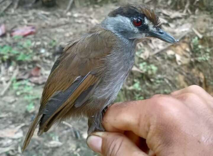 Bird thought extinct for 170 years spotted in Borneo