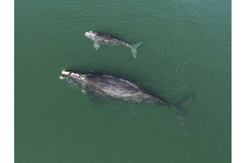 Births among endangered right whales highest since 2015