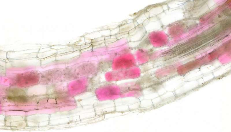 Blushing plants reveal when fungi are growing in their roots