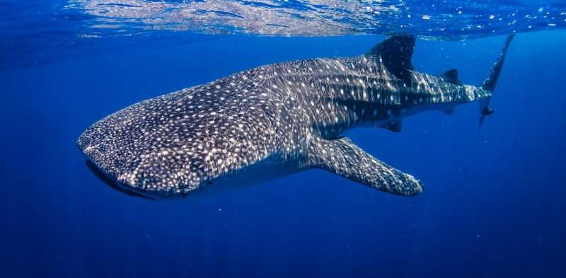 Boat strikes in protected areas could be harming whale sharks' development
