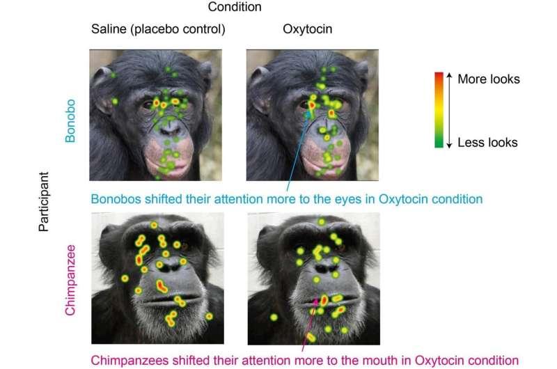 Bonobos, chimpanzees, and oxytocin