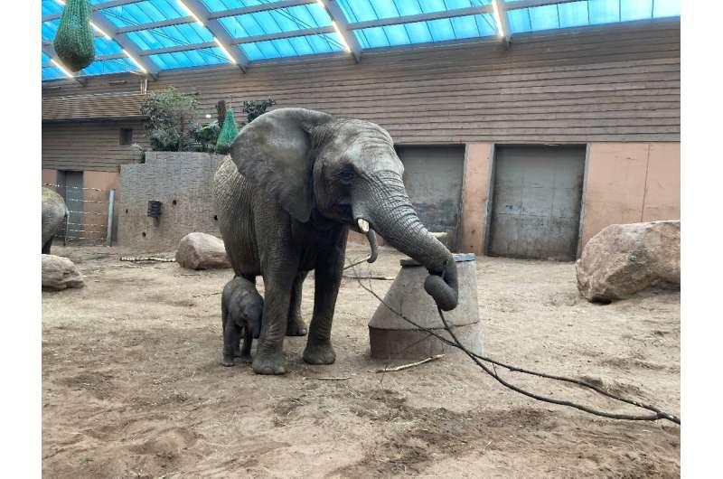 Boras Djurpark, in western Sweden, has a dozen African savannah elephants, but in-captivity births are rare