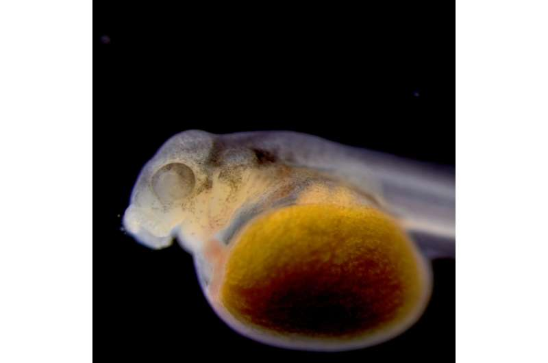 Bowfin genome reveals old dogfish can teach researchers new tricks