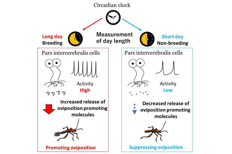 Brain seasonality: Bean bug neurons need biological clock gene for seasonal egg-laying