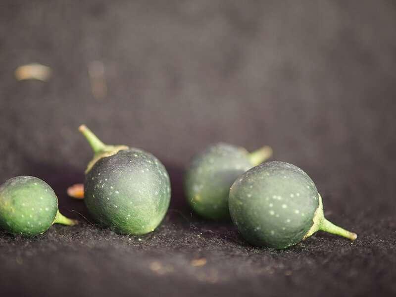 Breeding beetle-resistant potatoes