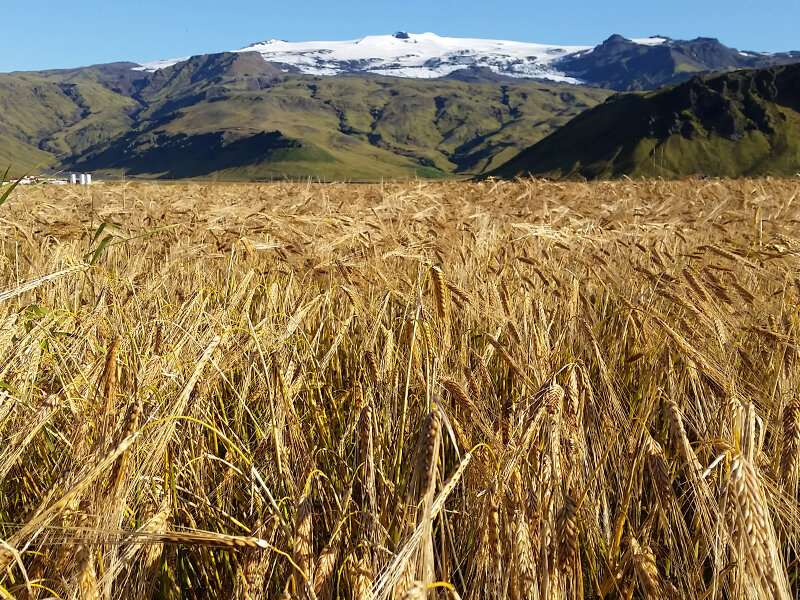 Breeding barley for a changing climate