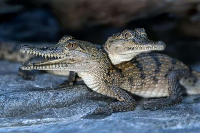 Bringing up baby: A crocodile's changing niche