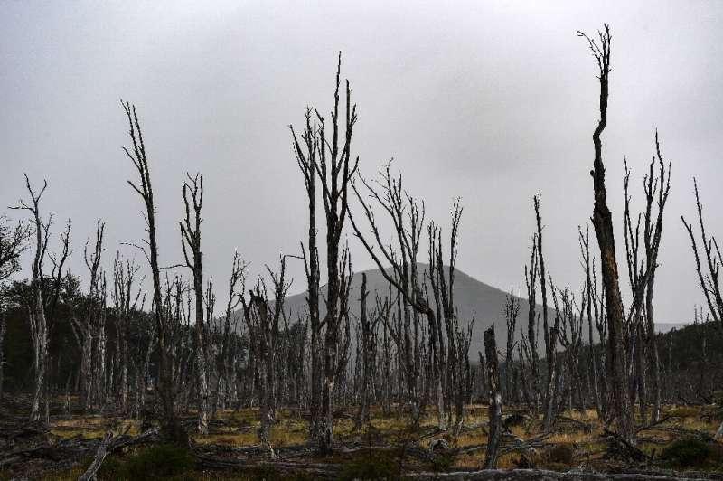 Traídos por humanos, los castores amenazan el bosque de la Patagonia