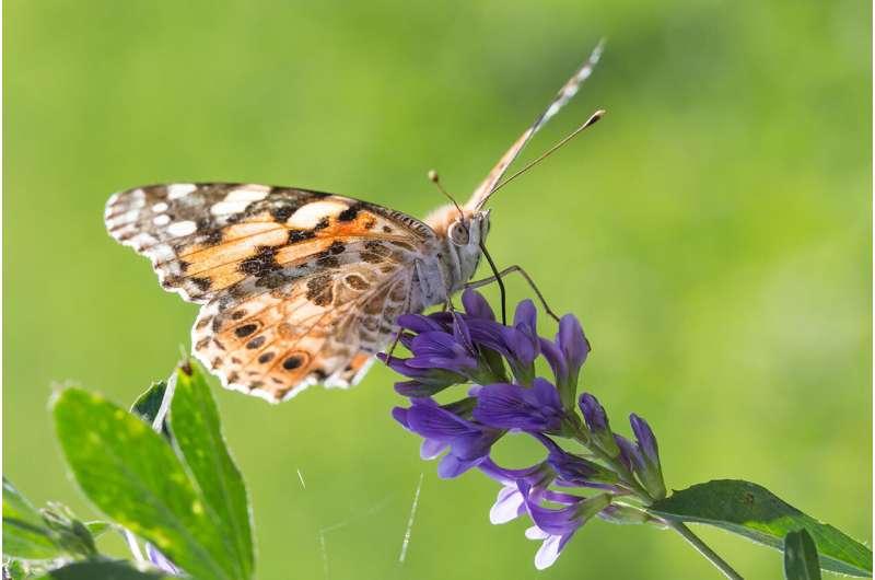 Las mariposas cruzan el Sahara en la migración de insectos más larga conocida