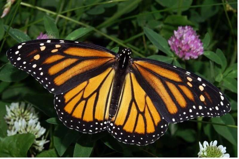 Butterflies feed on live young to steal chemicals for 'wedding gifts'