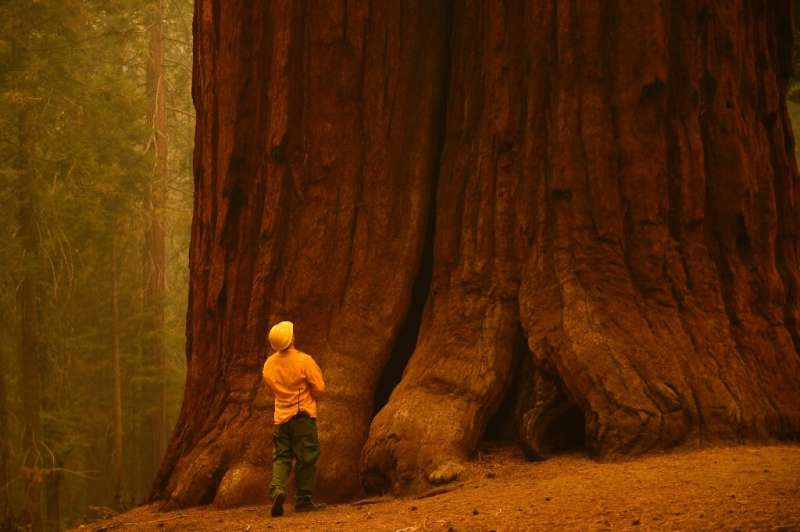 California redwood trees grow taller - over 100 metres - but sequoias are the largest trees by volume in the world