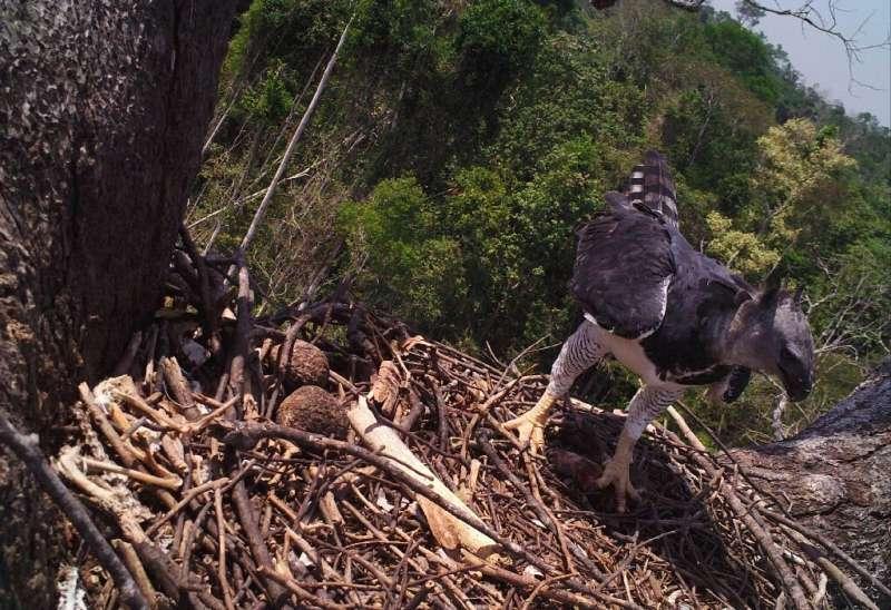 Camera traps showed adult eagles delivering less food to nests, where eaglets often starved to death