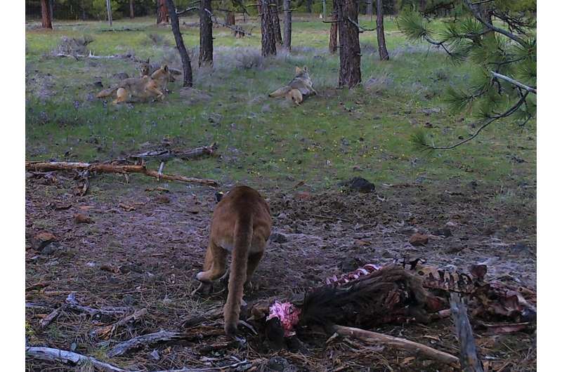 Carnivore interactions are a game of risk and reward, research shows