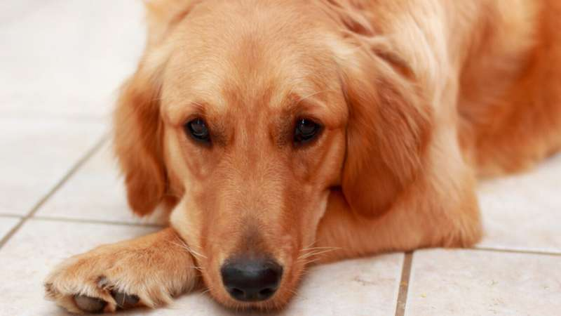 Cartilage resurfacing implant reduces pain, restores hip joint function in dogs