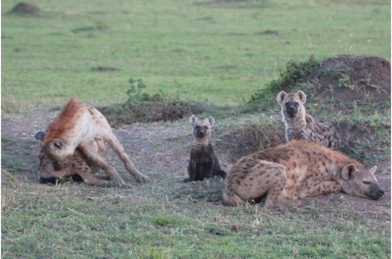 Cat-born parasite Toxoplasma induces fatally bold behavior in hyena cubs