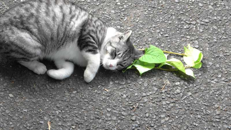 Cats love silver vine and catnip for a more practical reason than developing euphoria