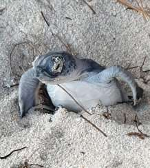 Cayman Islands sea turtles back from the brink