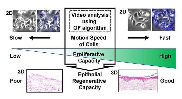 Cells/colony motion index of oral keratinocytes predicts epithelial regenerative capacity
