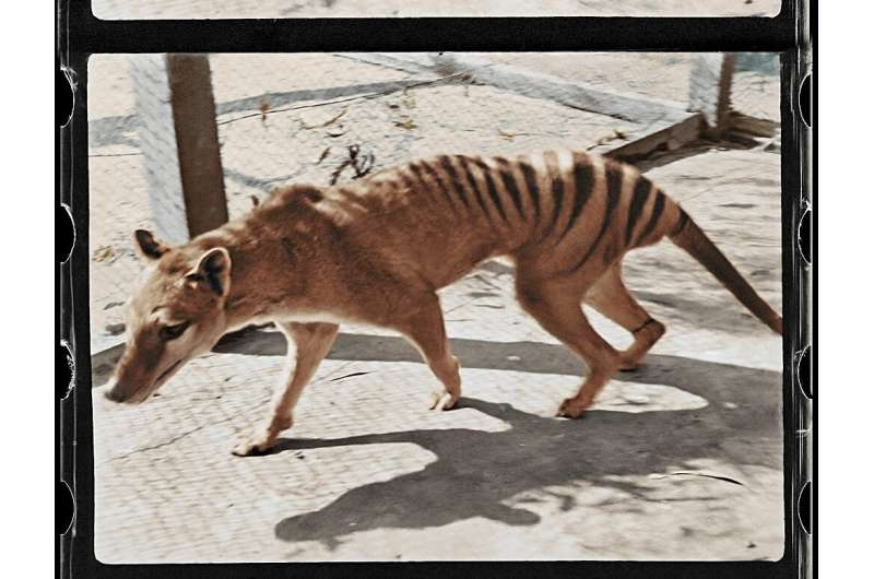 Century-old footage of the last known Tasmanian tiger in captivity has been brought to life by colourisation