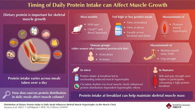 Championing chrononutrition with protein, the morning elixir for muscle growth